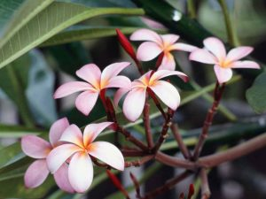 A close-up of frangipani flowers.