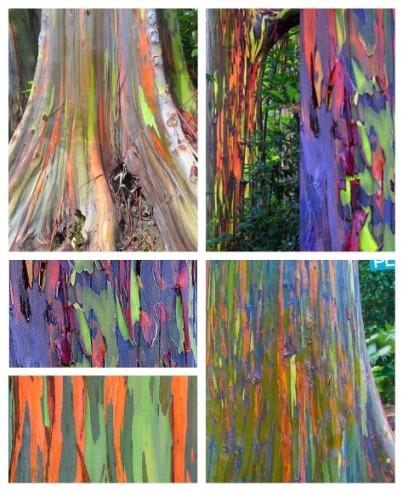 Hawaii S Rainbow Eucalyptus Trees Hawaii Hideaways